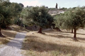 Grove of olive trees at Bethany