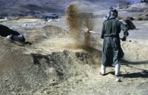 Winnowing grain by tossing it into the wind so the chaff will blow away