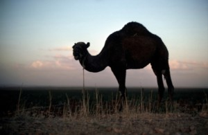A camel in the Haran area, Turkey, known as Charran in ancient Mesopotamia.