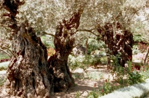 Olive Trees in the Garden of Gethsemane, on the Mount of Olives.