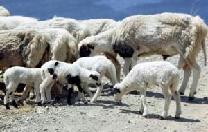 sheep_270314