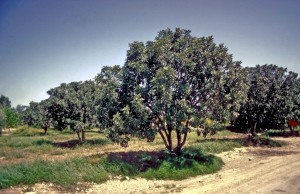 Grove of fig trees, a mature size.